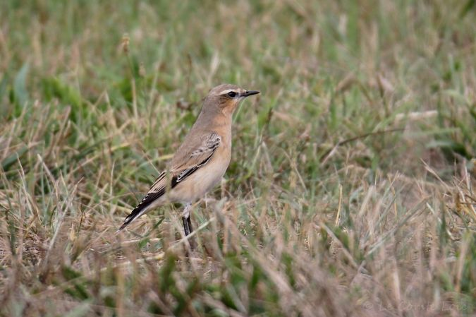 Northern Wheatear  - Le Comte Loïc
