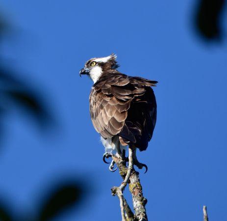 Osprey  - Geoffroy Chabot