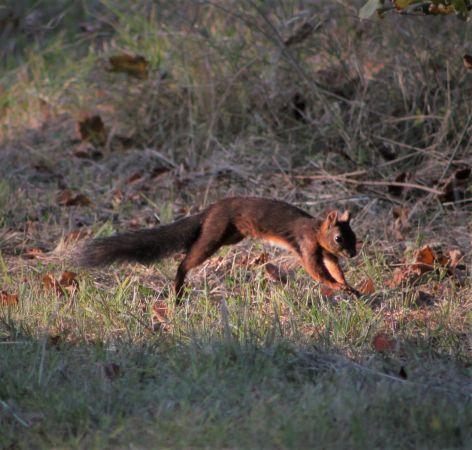 Eurasian Red Squirrel  - Murielle Desrois