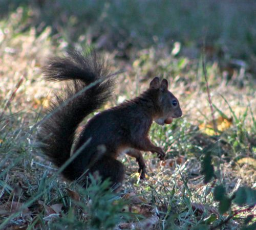 Eurasian Red Squirrel  - Murielle Desrois