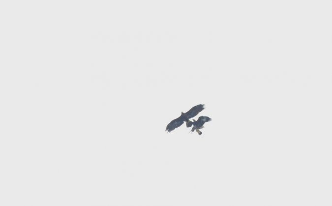 Golden Eagle  - Miguel Eraso