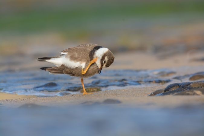 Common Ringed Plover  - Miguel Eraso