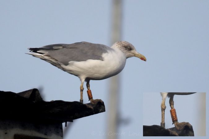 Cantabric Yellow-legged Gull