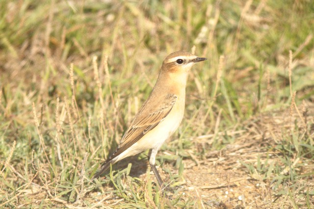 Northern Wheatear  - Laurence Gory