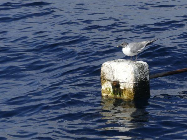 Sabine's Gull  - Nicolas Mokuenko(LPO Aqu)