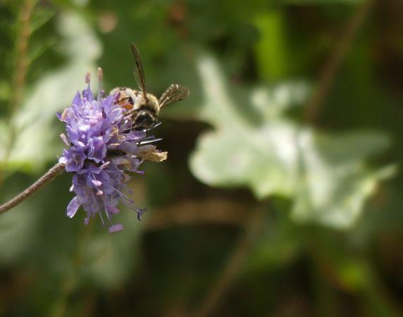 Andrena (Margandrena) marginata  - Nicolas Mokuenko(LPO Aqu)