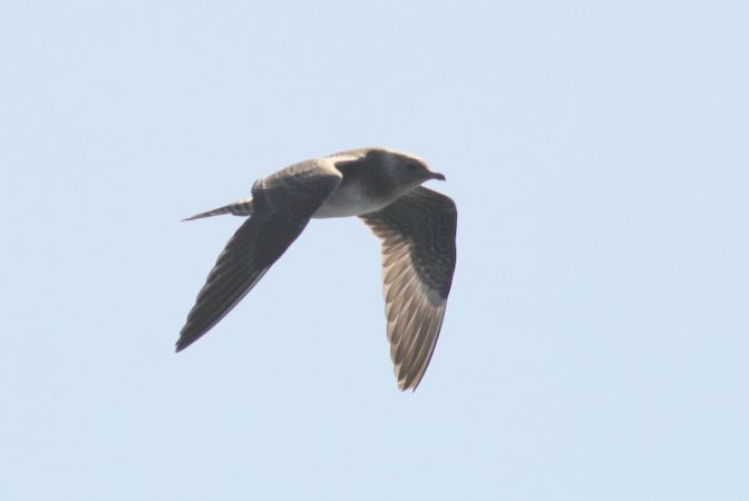 Long-tailed Skua  - Frédéric Cazaban