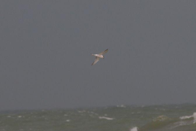 Arctic Tern  - Miguel Eraso