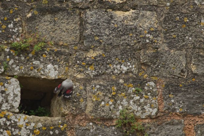Wallcreeper  - Vincent Tanqueray