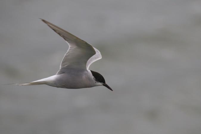 Arctic Tern  - Stéphan Tillo