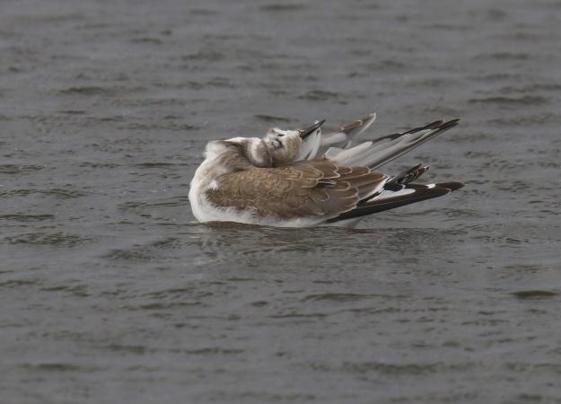 Sabine's Gull  - Stéphan Tillo