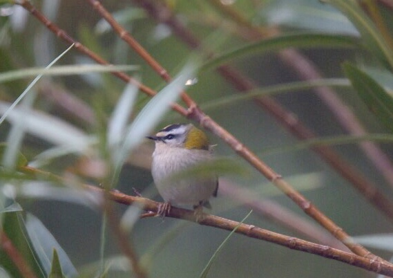 Common Firecrest  - Jean Marc Villaret