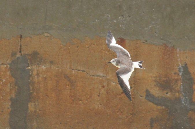 Sabine's Gull  - Frédéric Cazaban