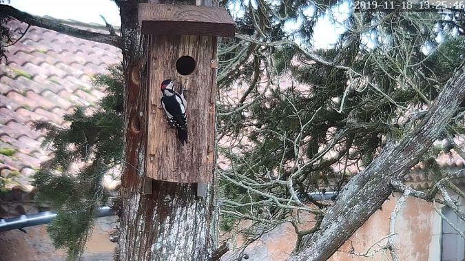 Great Spotted Woodpecker  - Stephane de Werra