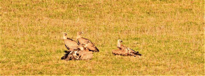 Griffon Vulture  - Vierge Vierge
