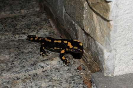 Fire Salamander  - Jean-Philippe Lartigau