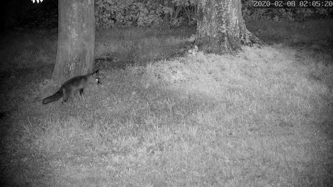 Red Fox  - Stephane de Werra
