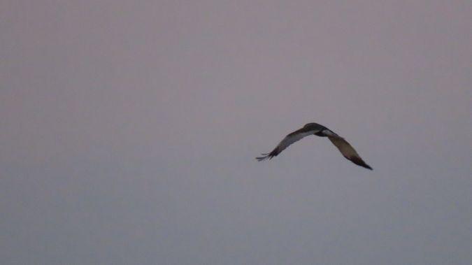 Western Marsh Harrier  - Jean-Louis Bourdens