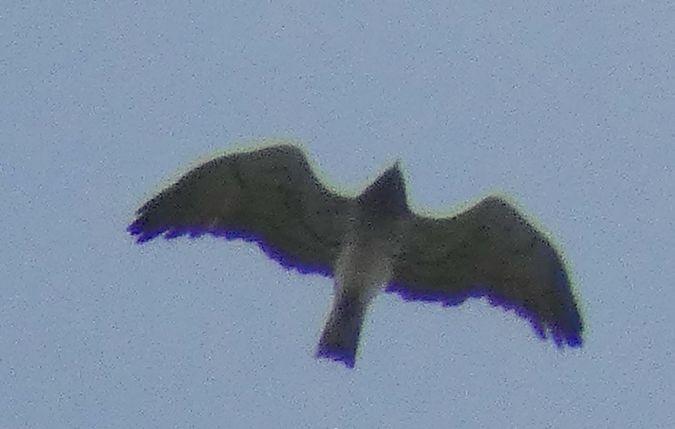 Short-toed Snake Eagle  - Jean-Valentin Dourthe