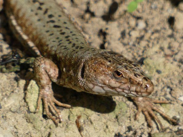 Common Wall Lizard  - Jean-Valentin Dourthe