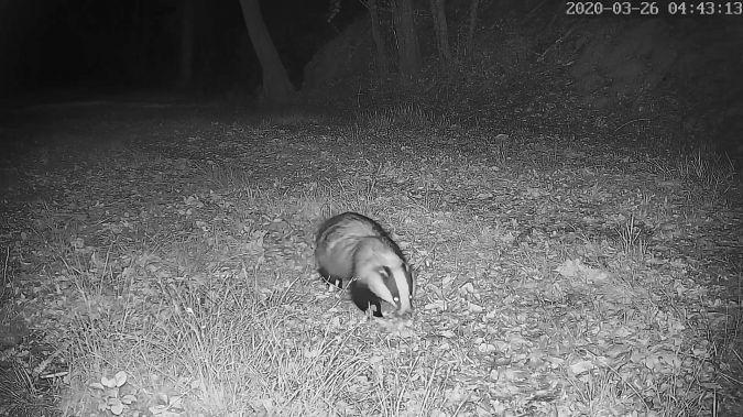 Eurasian Badger  - Stephane de Werra