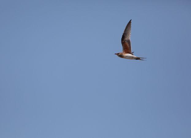 Canastera Común  - Terres D'oiseaux