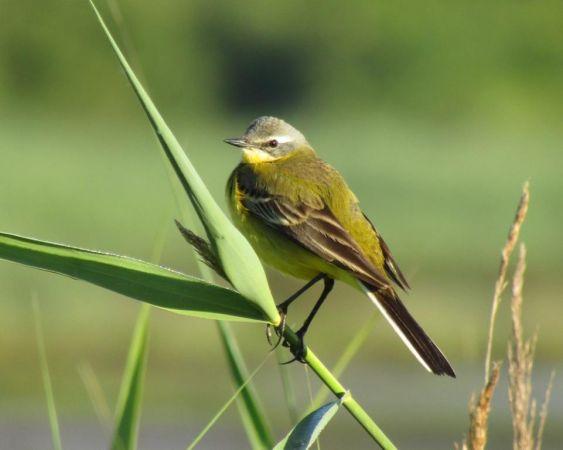 Western Yellow Wagtail (M.f.flava x iberiae)  - Mathieu Taillade
