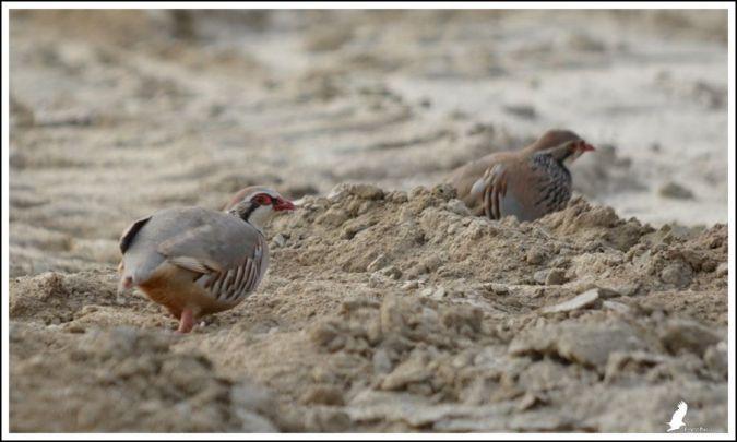 Red-legged Partridge  - Serge Pontacq
