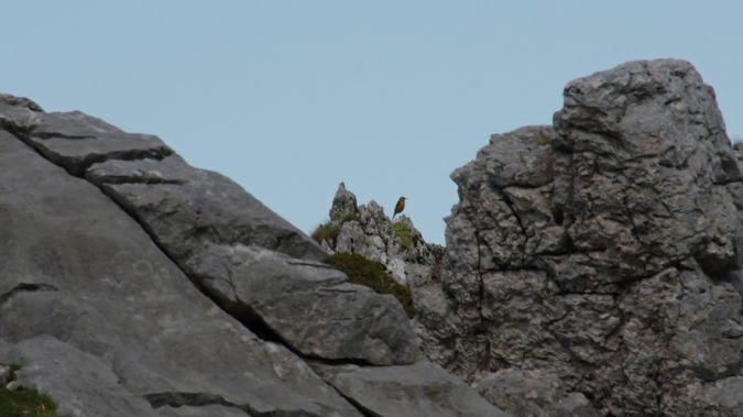 Common Rock Thrush  - Nicolas Delon