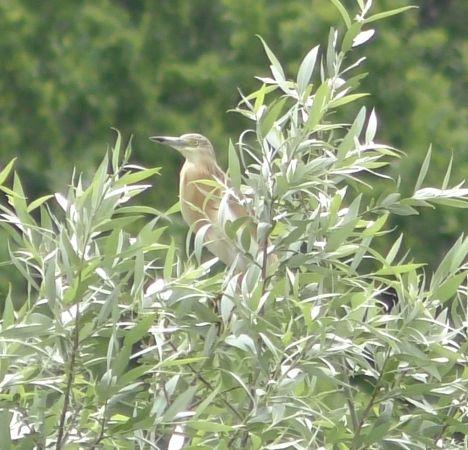 Squacco Heron  - Aurélien Lescaut