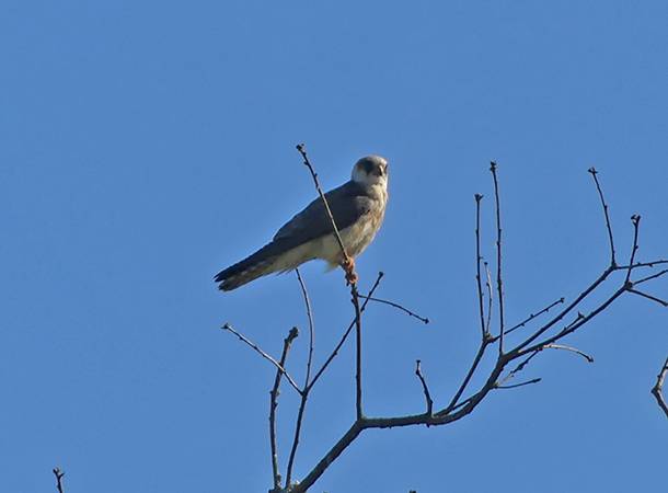 Red-footed Falcon  - Didier Masson