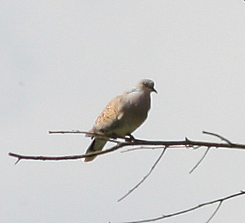 European Turtle Dove  - Alain Naves