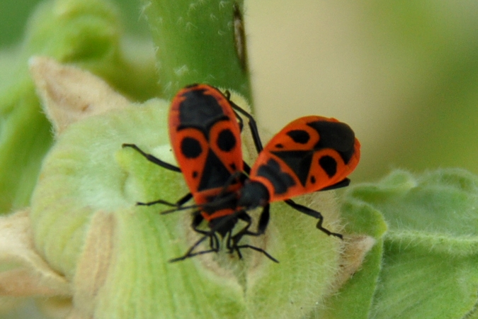 Pyrrhocoris apterus  - Guy Destré