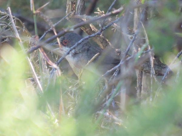 Sardinian Warbler  - Alfredo Herrero
