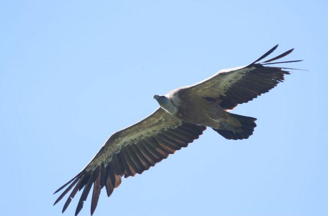 Griffon Vulture  - Alain Noel