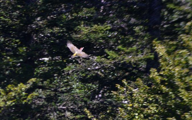Iberian Woodpecker  - Yves Blat
