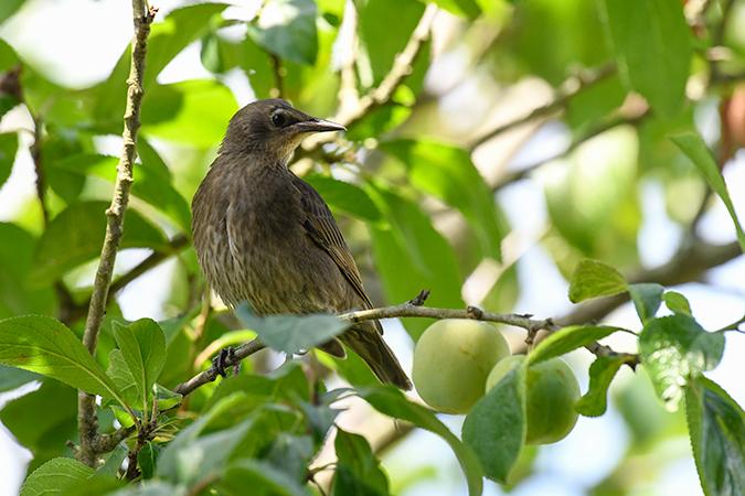 Common Starling  - Alain Laborde