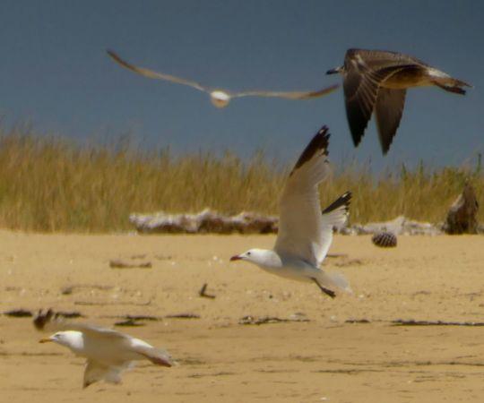 Audouin's Gull  - Nicolas Orliac