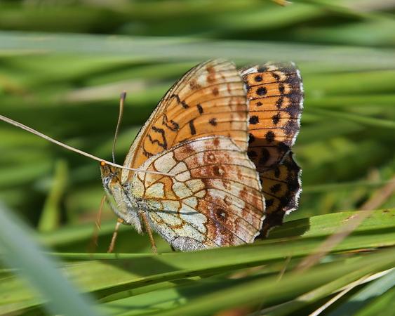 Lesser Marbled Fritillary  - Nicolas Delon