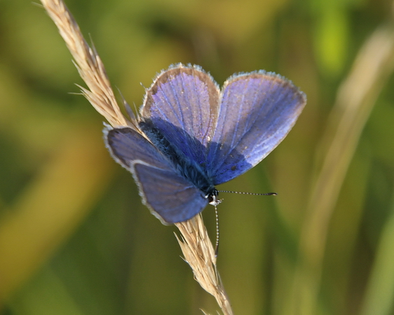 Short-tailed Blue  - Nicolas Delon