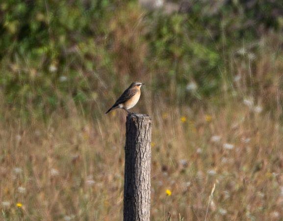 Northern Wheatear (O.o.leucorhoa)  - Gilles Mays