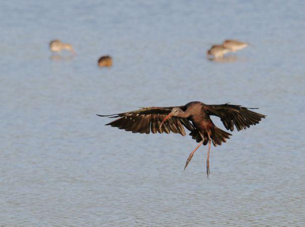 Glossy Ibis  - Alain Noel