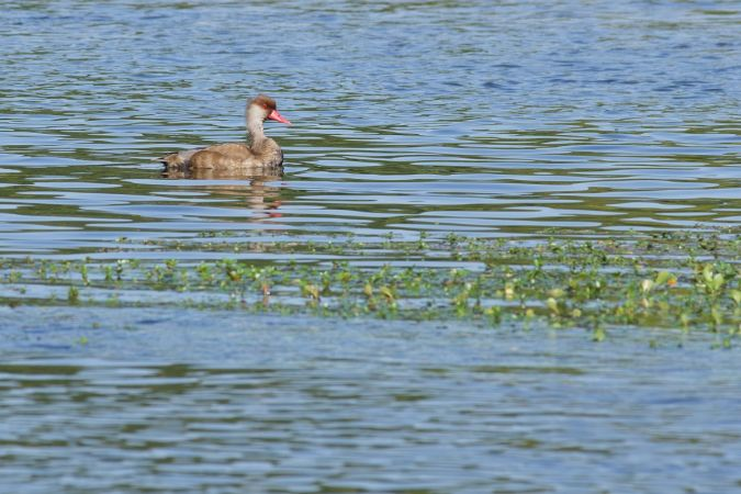 Red-crested Pochard  - Vincent Tanqueray