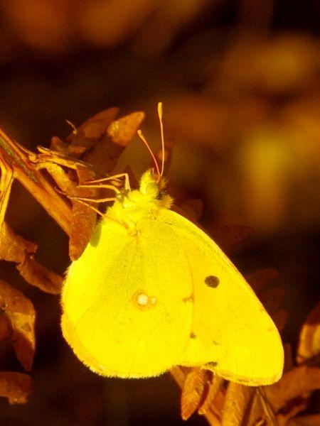 Clouded Yellow  - Hervé Le Morvan