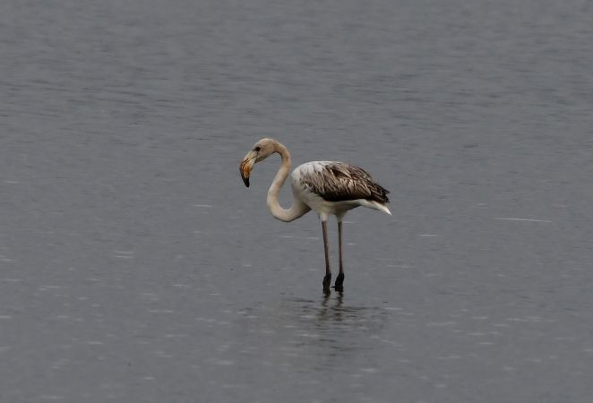 Greater Flamingo  - Geoffroy Chabot