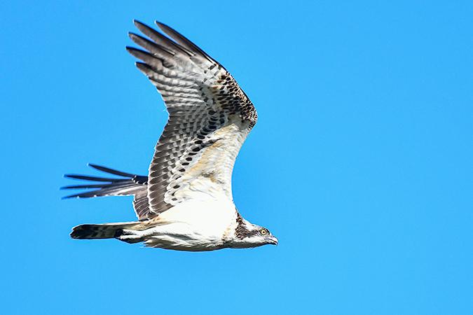 Osprey  - Alain Laborde