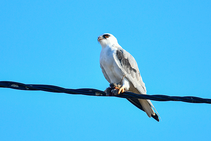 Black-winged Kite  - Alain Laborde