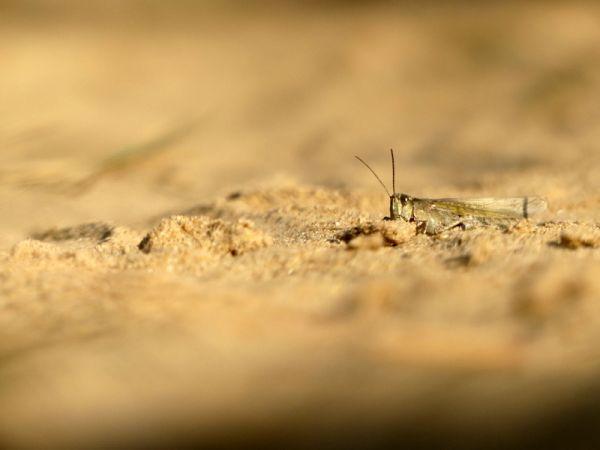Epacromius tergestinus tergestinus  - Nicolas Mokuenko(LPO Aqu)
