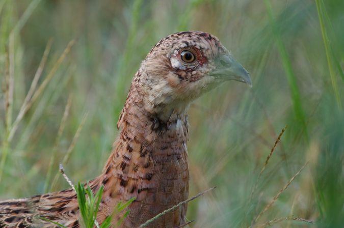 Common Pheasant  - Audrey Moranny