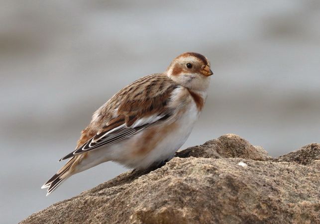 Snow Bunting  - Isabelle Thiberville